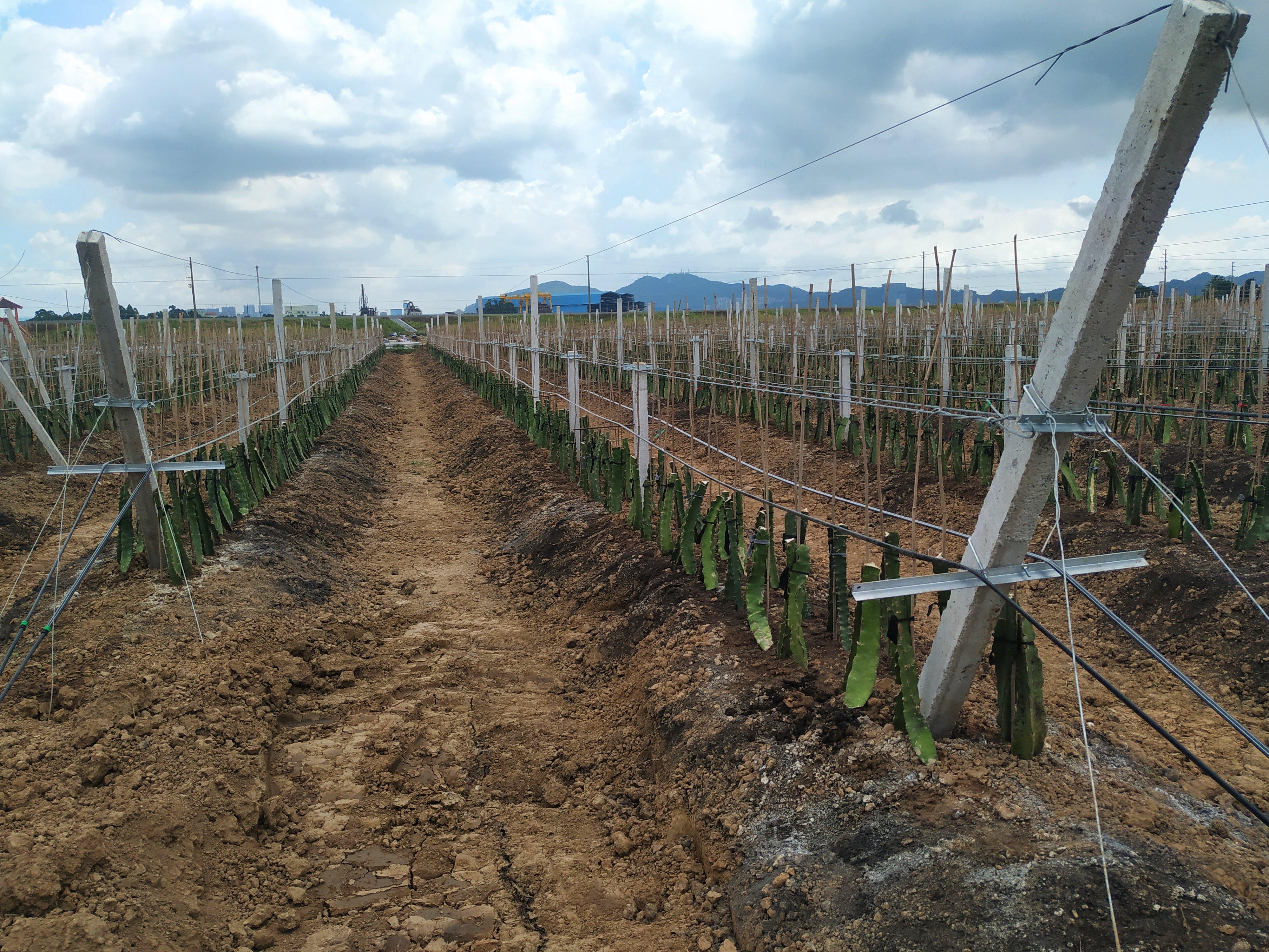 水肥一体化丨南沙火龙果基地